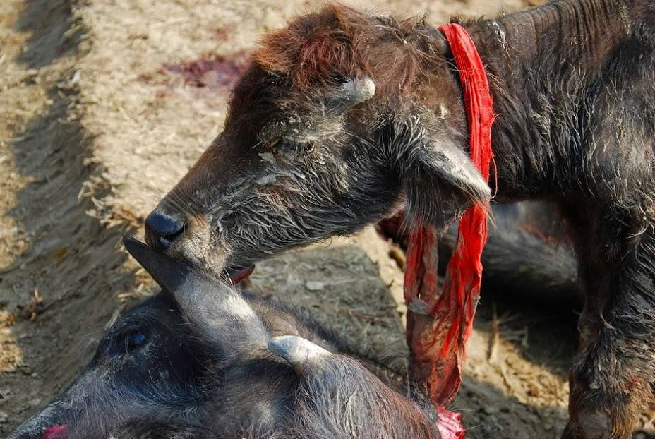 The Superstitious Gadhimai Festival of Ignorance  and Mass Murder