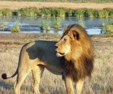 Cecil-Lion-Josephine-Bestic-481x400