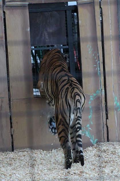 tigers66