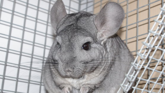 Latest Monsters Holmes Chinchilla Ranch and Other Small Animals Inc.