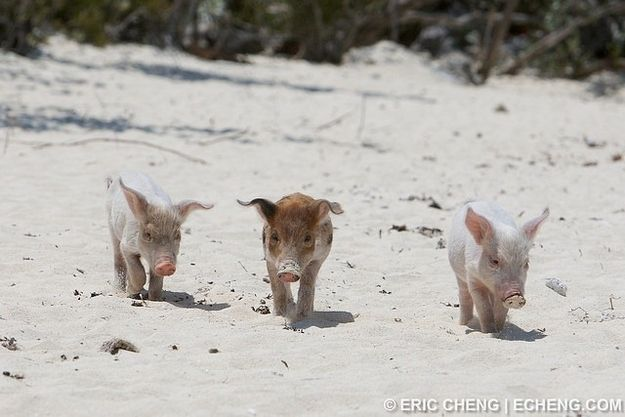The Bahama Swimming Pigs Exploited For Tourists