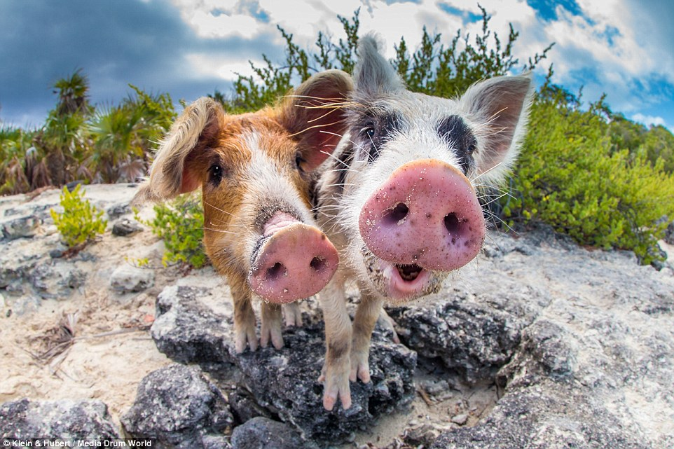 The Bahama Swimming Pigs Exploited For Tourists – The