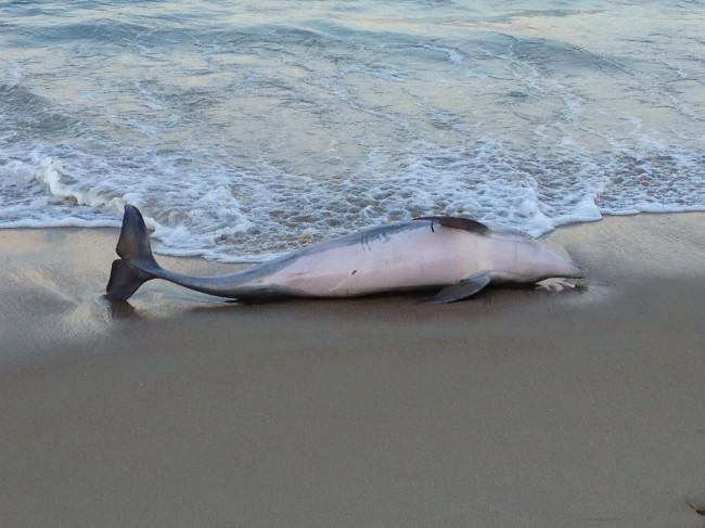 dolphin3-650x487