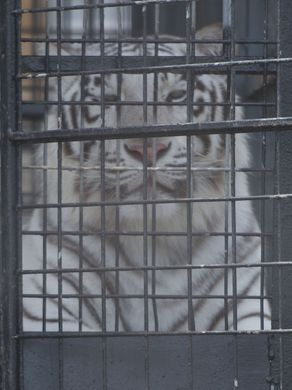 David Donnert and Vicenta Pages are Monsters They Enslave and Beat Tigers so they can perform Tricks for Profit
