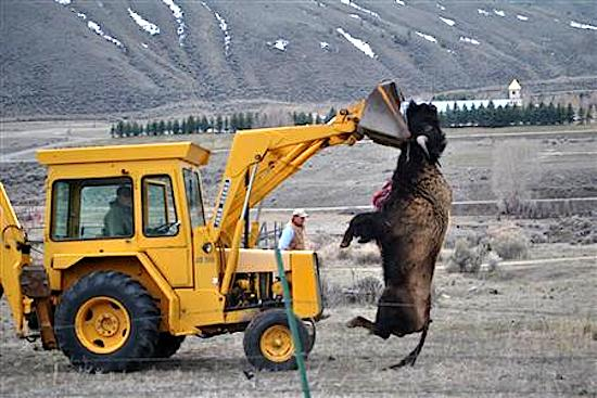 """Wild Buffalo Abused for eating grass """"meant"""" for cattle raised for food in the Hebgen Basin"""