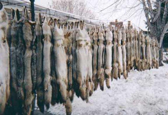 blaine fur
